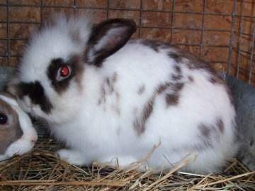 Rabbit Breeds - Rabbits